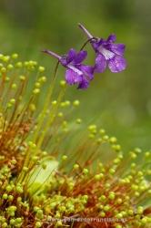 Grasilla (Pinguicola grandiflora). P Natural Sierra de Cebollera, La Rioja