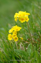 Primavera (Primula veris). Álava