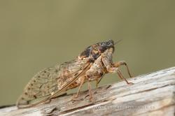Cicada orni. Alicante,Spain