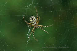 Argiope bruennichi, female. Ciudad Real, Spain