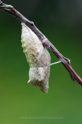 Chrysalis of Papilio machaon