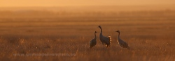 Cranes (Grus grus) al sunset. Gallocanta Lake, Zaragoza (Spain)