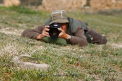 Photographing ocellated lizard (Timon lepidus). Spain