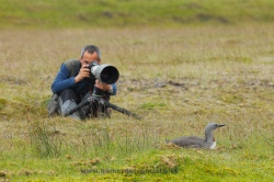 Photographing red-throated diver (Gavia stellata). Iceland