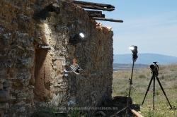 Photographing hoopoe (Upupa epops). Spain