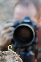 Photographing scorpion (Buthus occitanus). Spain