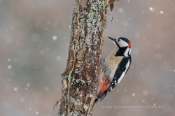 Great spotted woodpecker (Dendrocopos major), male. La Rioja, Spain