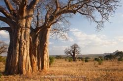 Baobabs. Parque Nacional de Tarangire, Tanzania