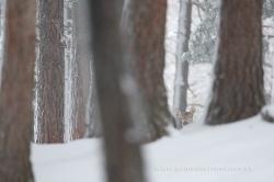 Ciervo común (Cervus elaphus), hembra