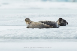 Common seal (Phoca vitulina). Iceland