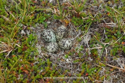 Nest with eggs of golden plover (Pluvialis apricaria). Norway