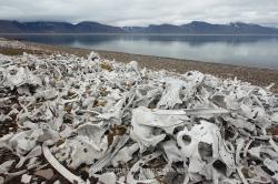 Huesos de beluga (Delphinapterus leucas), fiordo de Bellsund, Svalbard