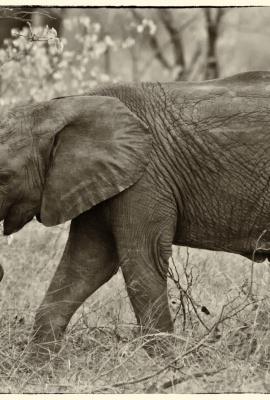 Cria Elefante 1