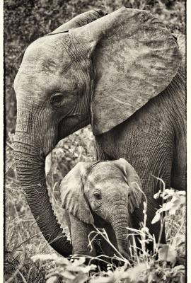 Hembra Elefante con Cria 2