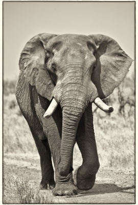Macho Elefante 1