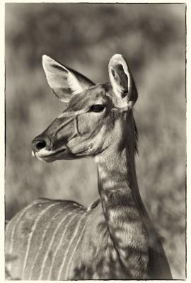 Hembra de Kudu 1
