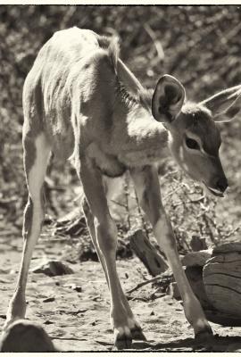 Cria de kudu 1
