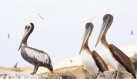 Glamour aviar. Perú.