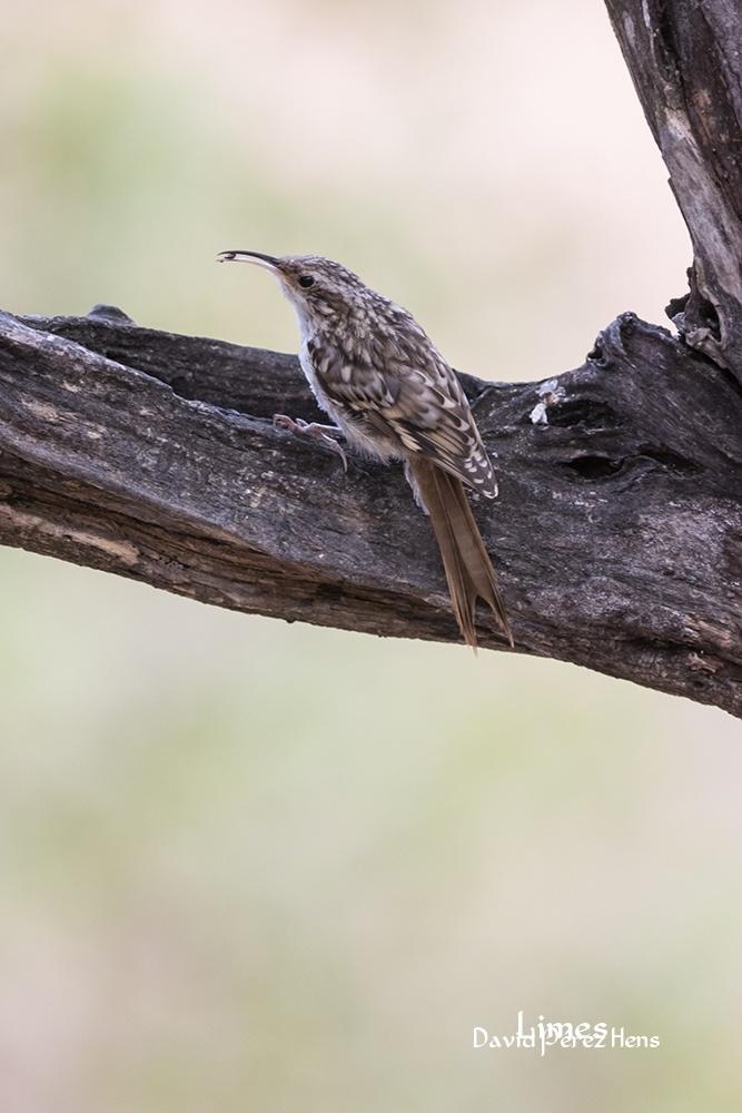 Agateador - Hide aves forestales - Limes , David Pérez Hens