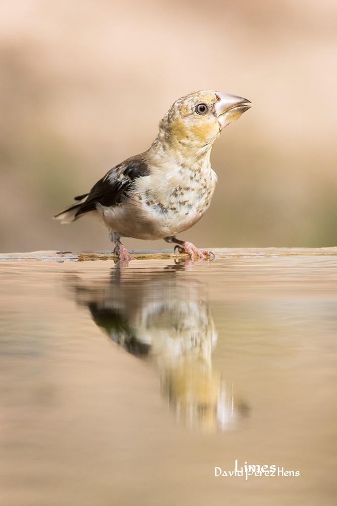 Picogordo - Hide aves forestales - Limes , David Pérez Hens