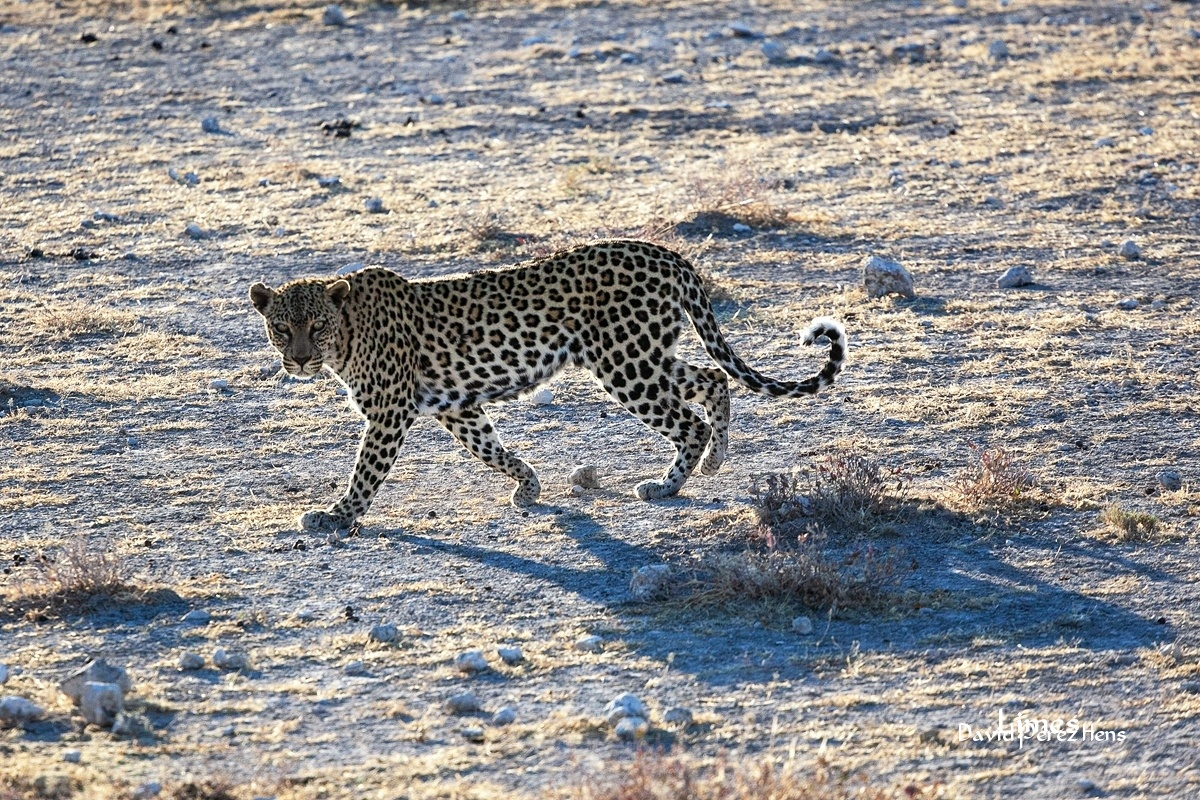 Leopardo, imagen M.J. Abad - Sudáfrica-Namibia-Botsuana-Zimbabwe - Limes , David Pérez Hens