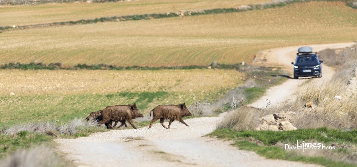 Paso de fauna, javalies  - Paisaje con grullas  - Limes , David Pérez Hens