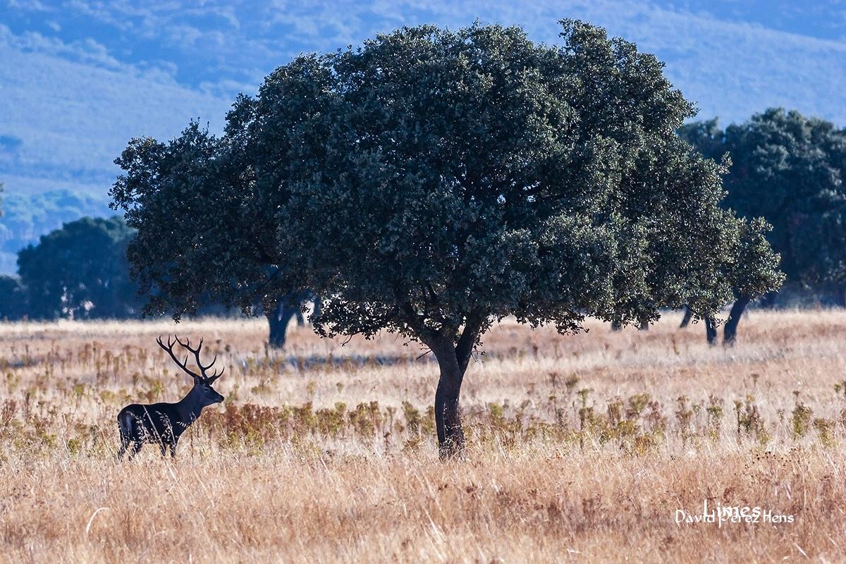 Cabañeros - Paisaje con ciervos - Limes , David Pérez Hens