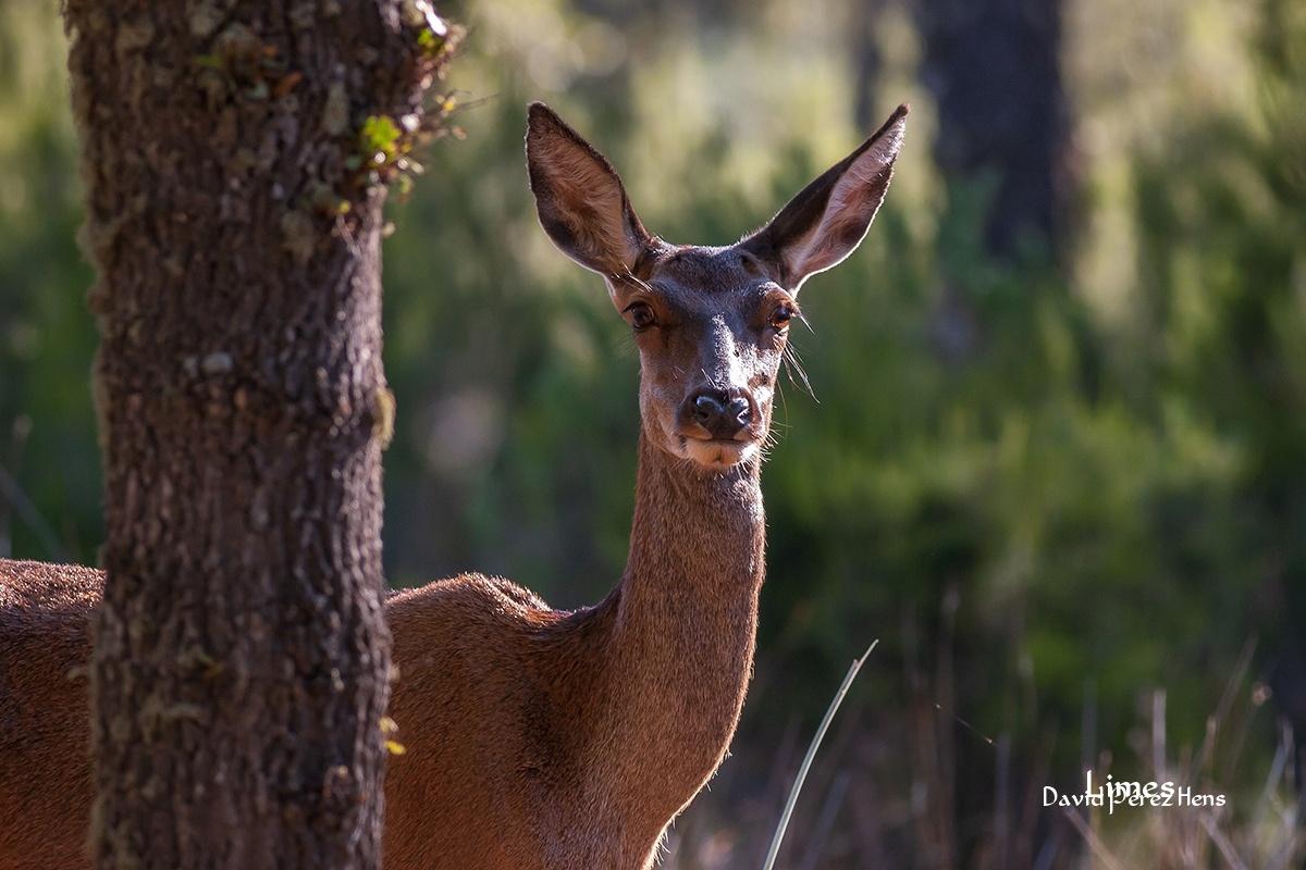 La mirada. Cabañeros - Paisaje con ciervos - Limes , David Pérez Hens