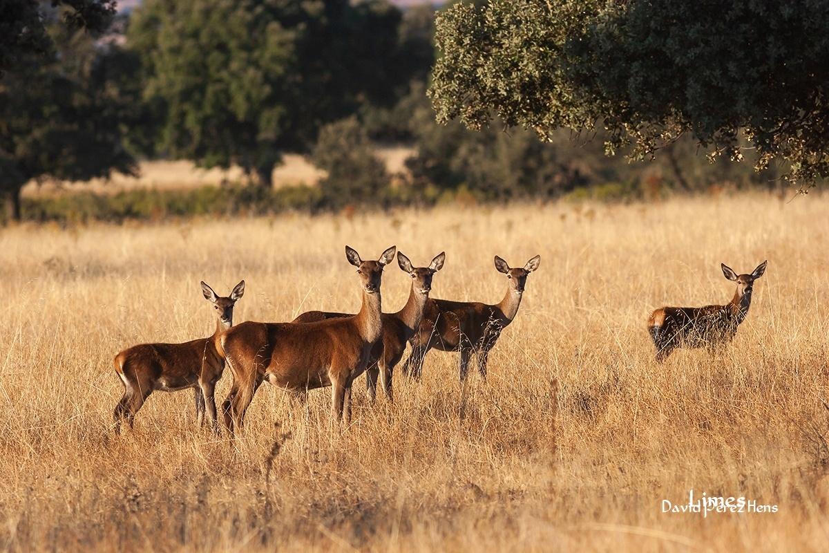 5 miradas, Cabañeros - Paisaje con ciervos - Limes , David Pérez Hens
