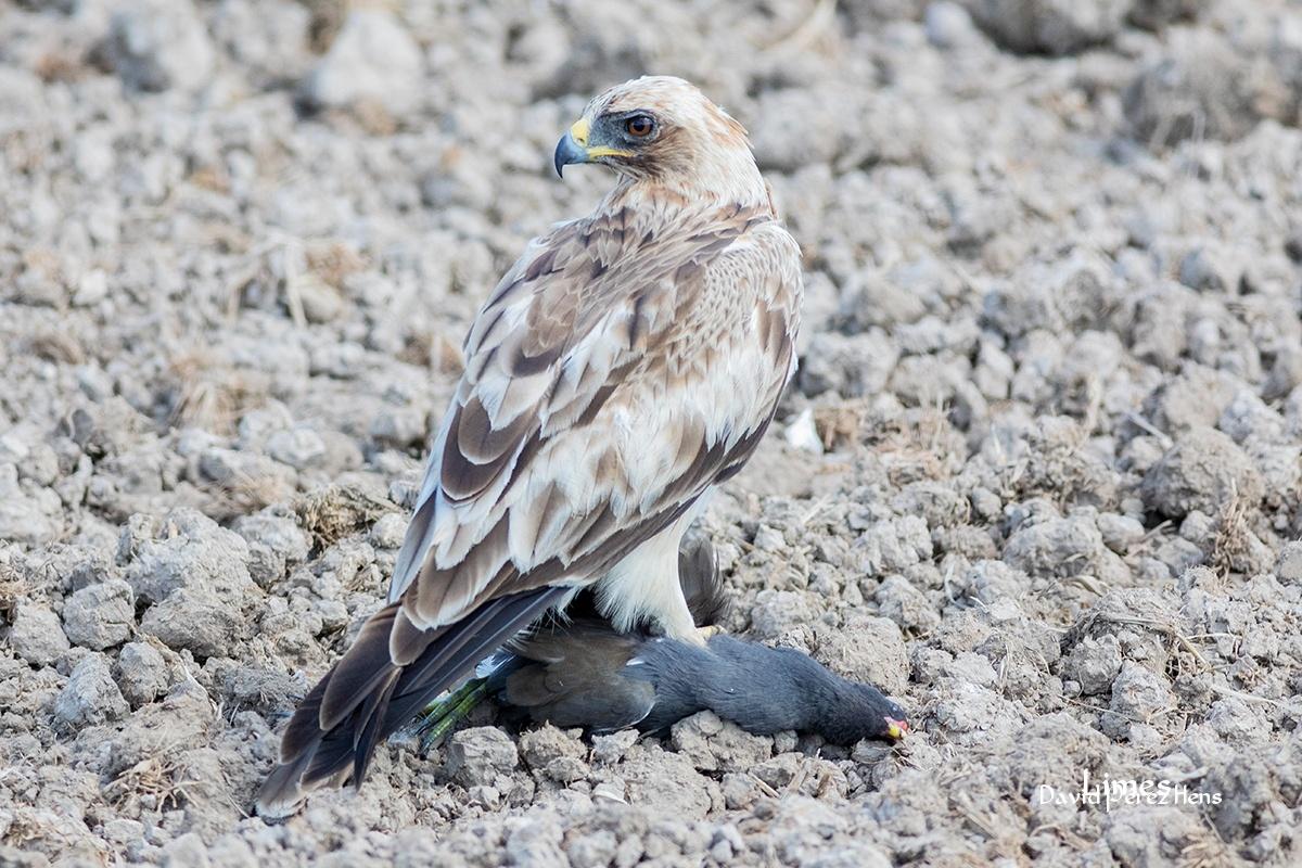 Aguila Calzada, La Albufera - Paisajes deltaicos y humedales.  - Limes , David Pérez Hens