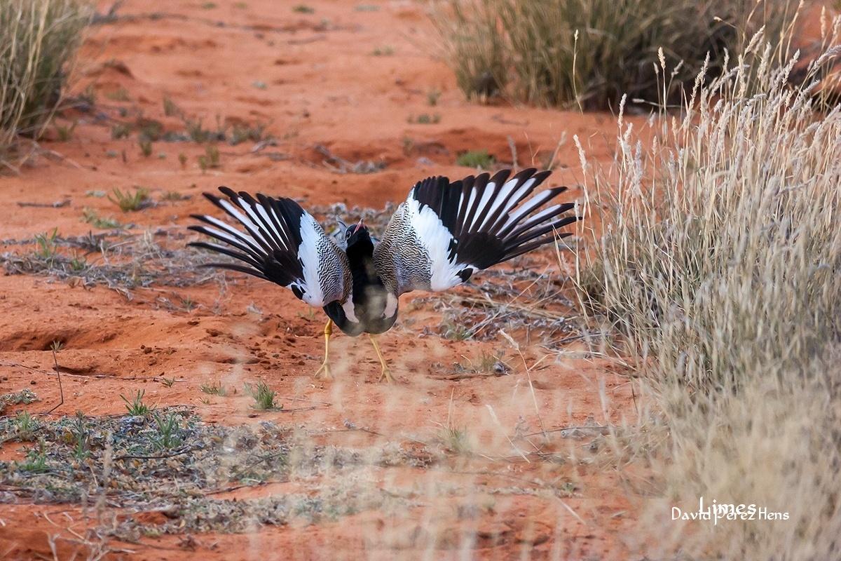 Sisón Negro aliclaro, Desierto del Kalahari, Sudáfrica - Sudáfrica-Namibia-Botsuana-Zimbabwe - Limes , David Pérez Hens