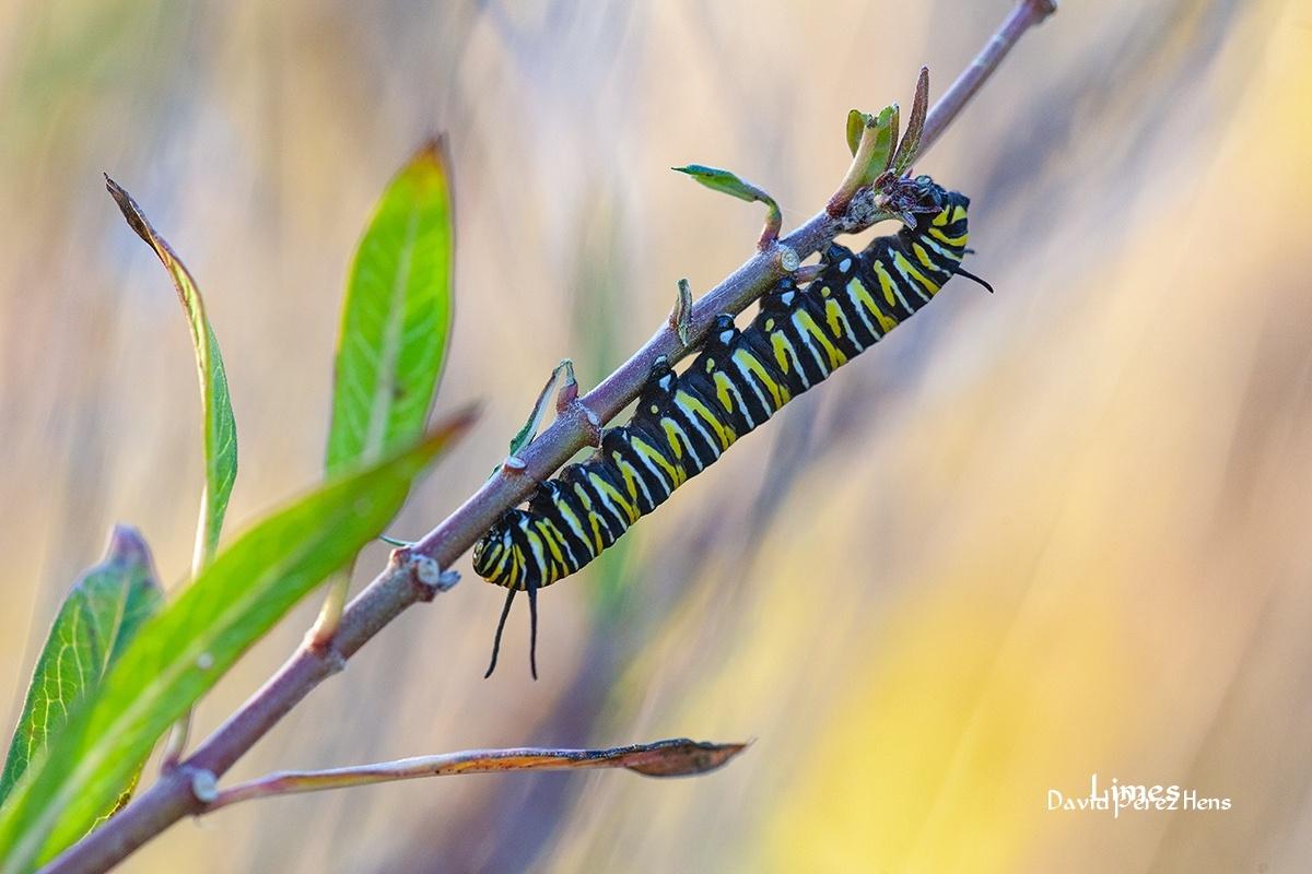 Oruga de mariposa Monarca, Motril - Macro. - Limes , David Pérez Hens