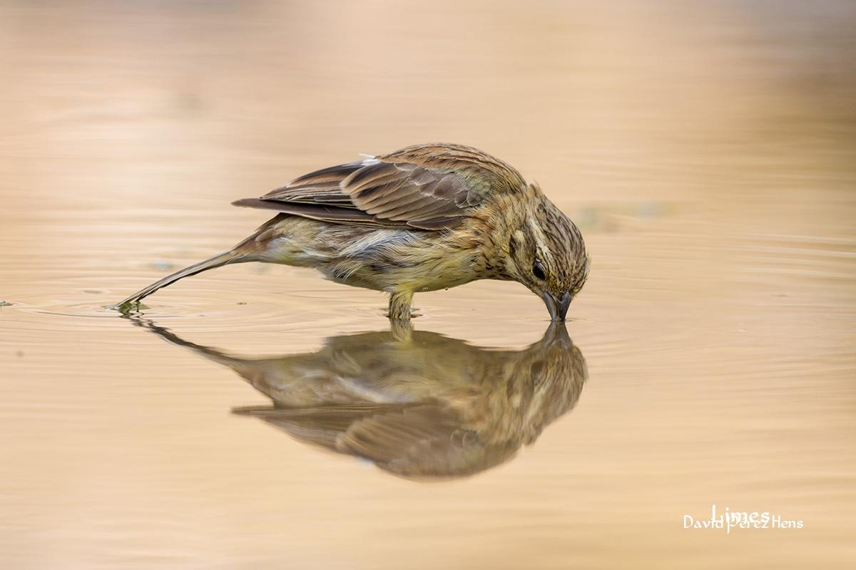 Escribano soteño - Hide aves forestales - Limes , David Pérez Hens