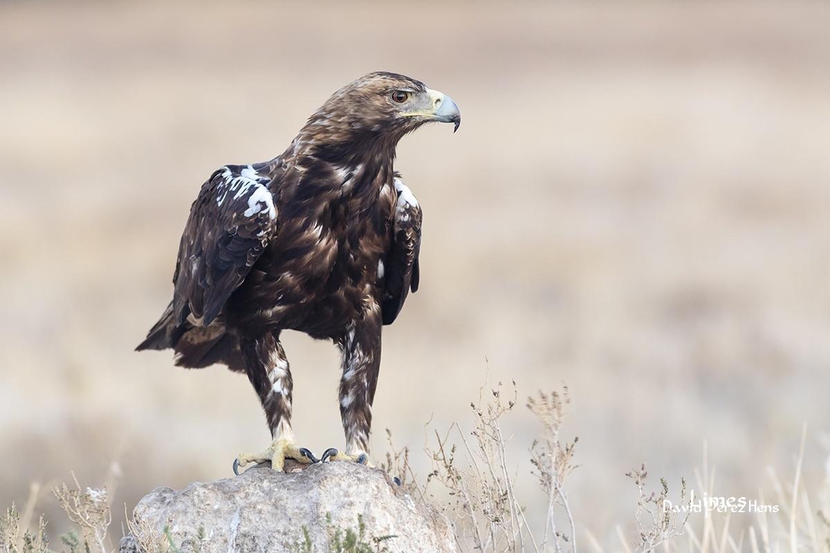 Águila Imperial Ibérica, realizada desde hide. - Hide Laguna el Taray - Limes , David Pérez Hens