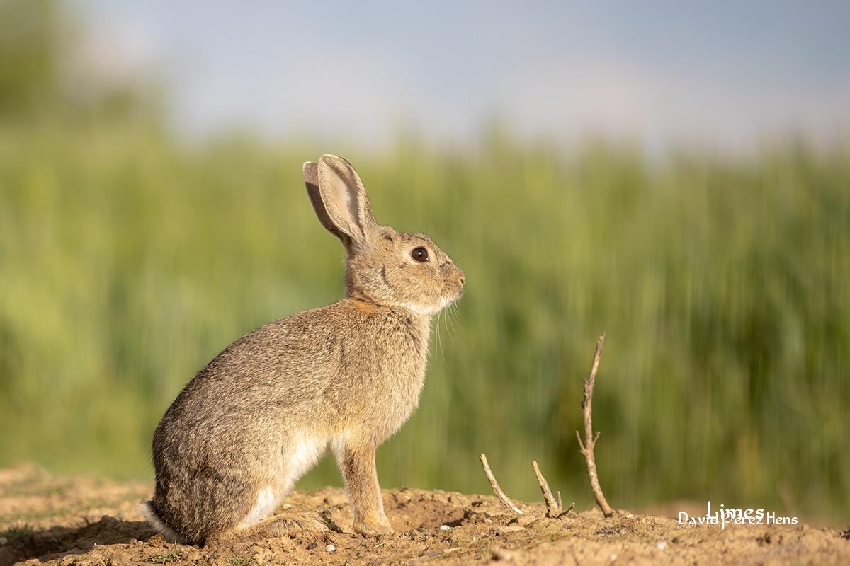 Conejo, desde hide, Montgai 2021 - Hide en Montgai y secanos de Balaguer - Campos de Balaguer y Montgai