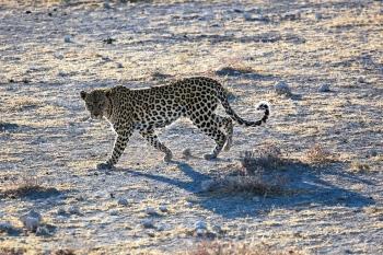 Leopardo, imagen M.J. Abad