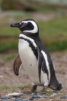 Pingüino patagónico, Esrecho de Magallanes