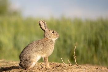 Conejo, desde hide, Montgai 2021