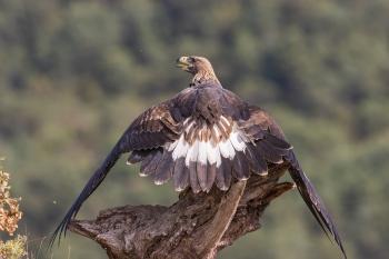 Aguila Real joven 1 año protegiendo la comida, Hide de Pobes.