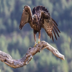 Águila Real adulto entrando al posadero, Hide de Pobes