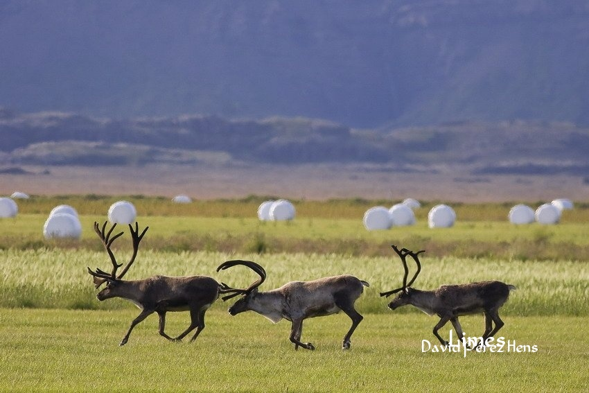 Paisaje con renos. Imagen David Pérez Hens - Islandia. - Limes , David Pérez Hens