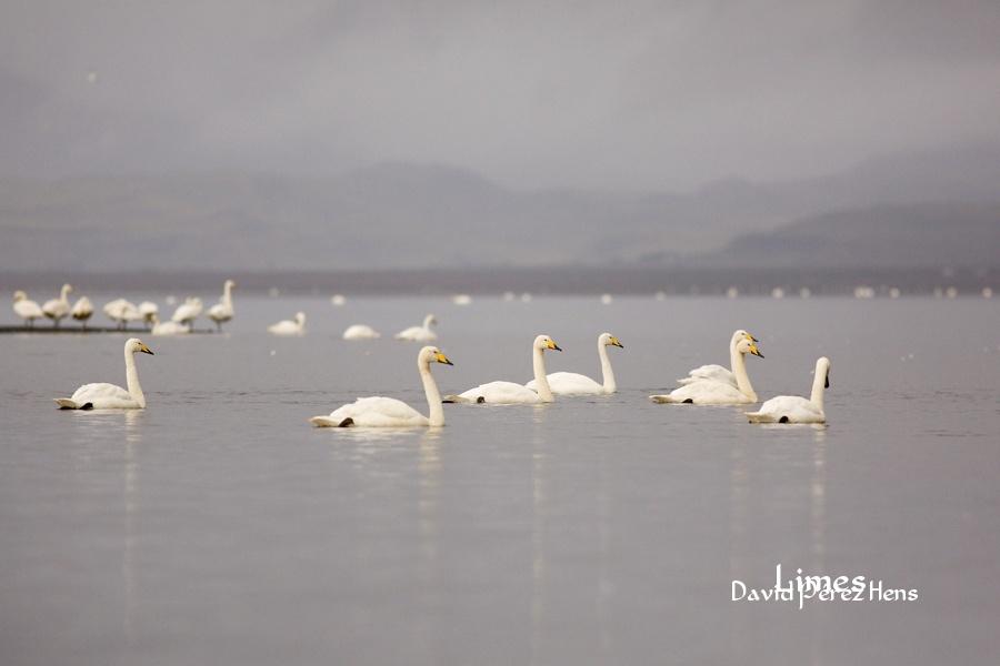 Cisnes cantores. Imagen David Pérez Hens - Islandia. - Limes , David Pérez Hens