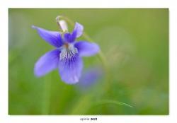 02.Violeta silvestre.  (Viola riviniana)