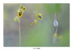 05-Ophrys lutea.
