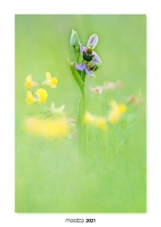 01-Ophrys apifera.