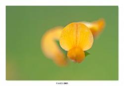 09-Lotus hispidus.