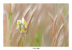 10-Flor entre espigas.