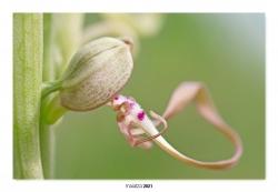 11- Detalle floral de Himantoglossum hircinum.