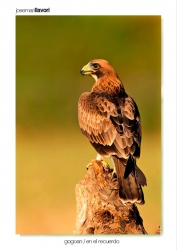 06-Booted eagle