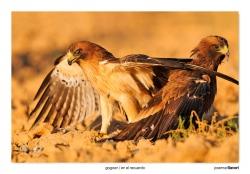 07-Booted eagle